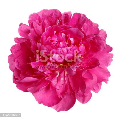 Color magenta peony isolated on white background.