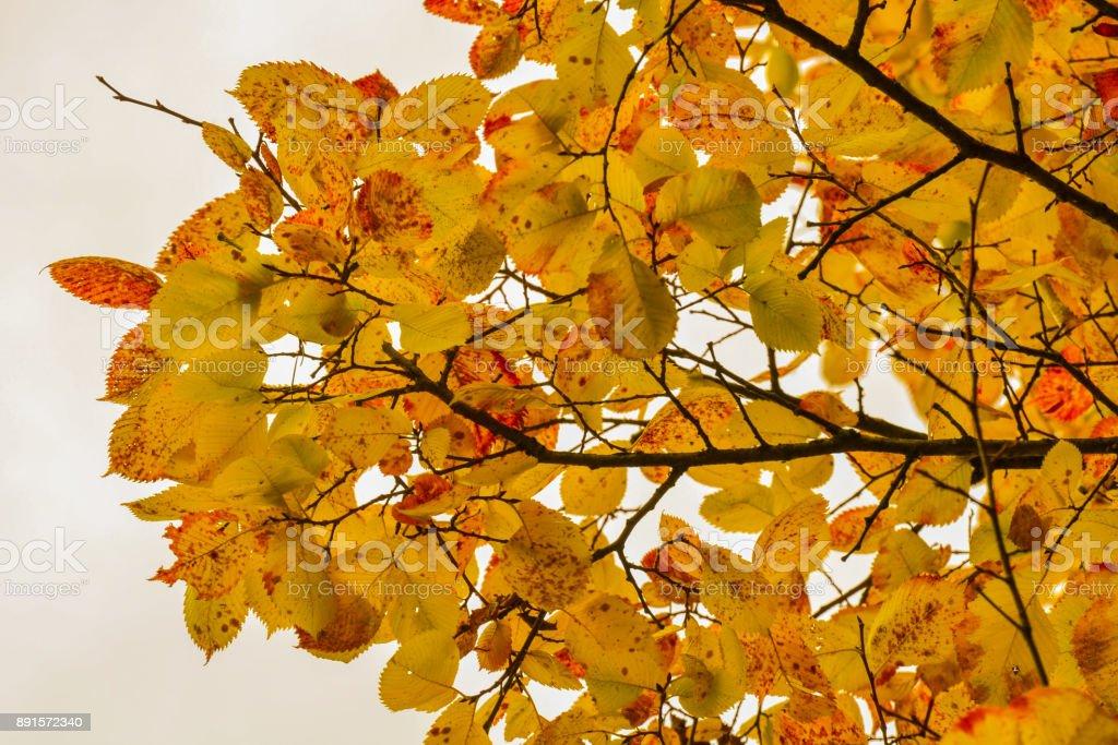 a68c690916 Farbe Ahorn-Blätter und Zweige. Farben des Herbstes. Gelb, rot gegen den