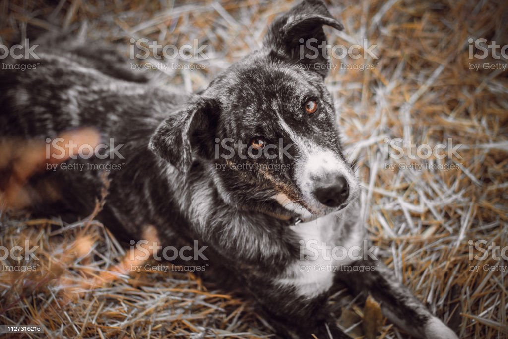 Color Merle Stock Photo Download Image Now Istock