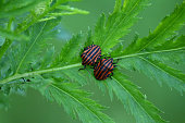 Color photo of two black and red beetles sitting on a green leaf. Male and female. Insect fauna