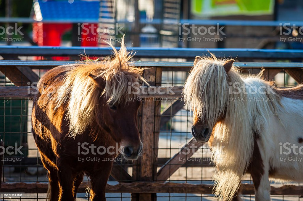 Color picture of Shetland ponnies on a farm stock photo