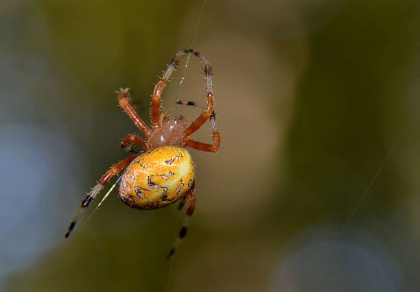 farbe gelb spinne - wilde hilde stock-fotos und bilder
