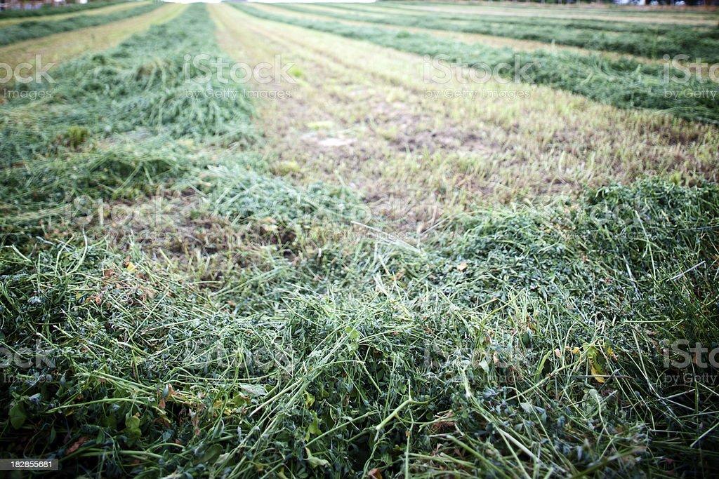 Colorado alfalfa wind row hay field stock photo