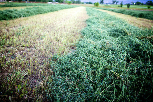 Colorado alfalfa wind row hay field stock photo
