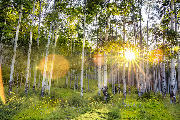 Colorado Aspen Forest at Sunset stock photo