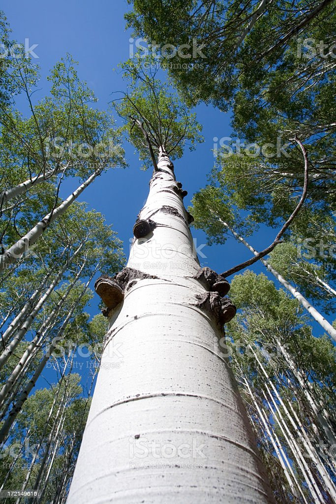 Colorado Aspens 2 royalty-free stock photo
