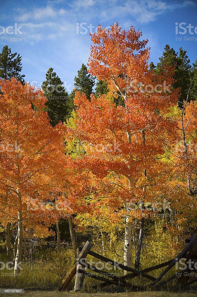 Colorado Aspens in Autumn stock photo