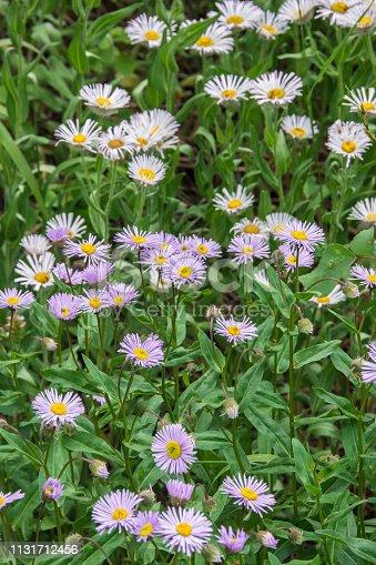 Colorado Aster Wildflowers