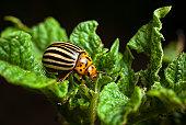 Colorado beetle eating/damaging a potato leaf/plant