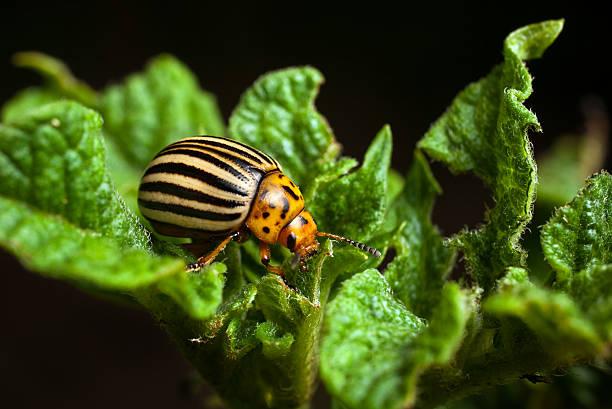 A Colorado beetle eating potato leaves stock photo