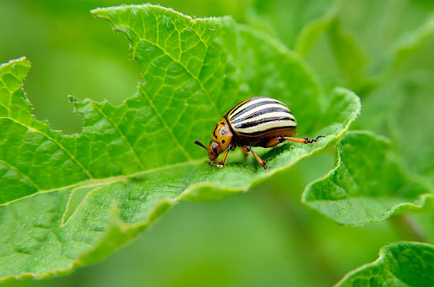 Colorado beetle eats a potato leaves young. – Foto
