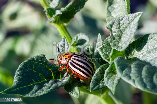 Close-up of Colorado beetle eating potato leaves. Insect pests destroy vegetable crops.