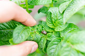 Colorado potato beetle Leptinotarsa decemlineata, Pesto potato leaves in the farm. selective focus