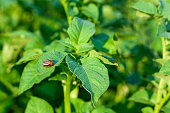 Colorado beetle on young potato leaves. Insect pests destroy the crop of vegetables.