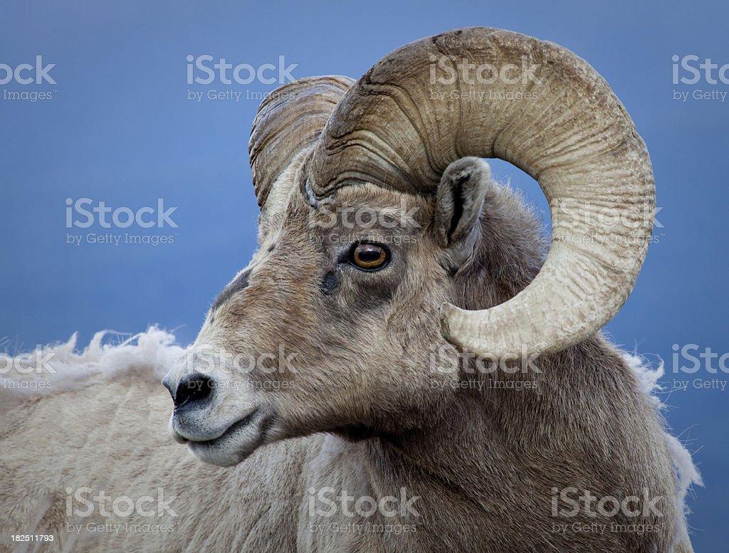 Colorado Bighorn Ram royalty-free stock photo