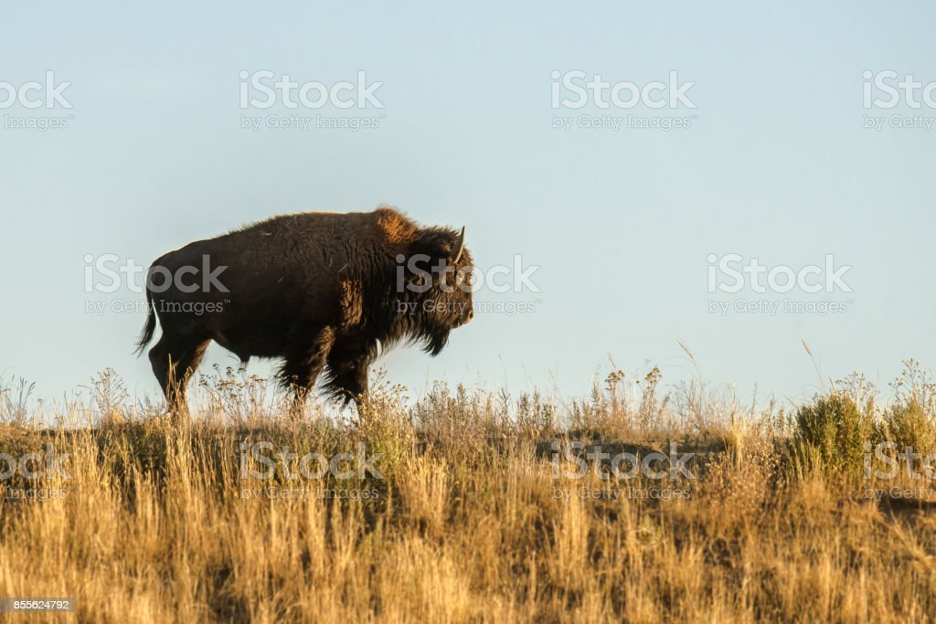 Colorado Bison stock photo