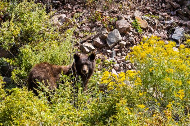 Colorado Black Bear Family stock photo