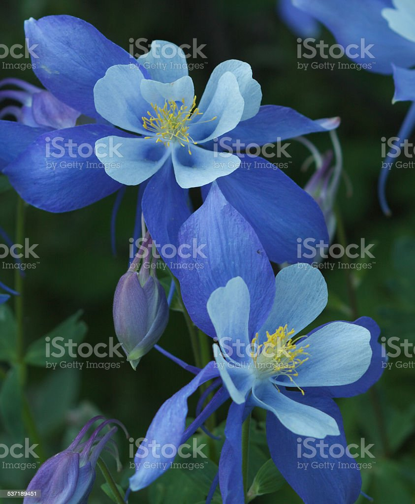 Colorado Blue Columbine stock photo