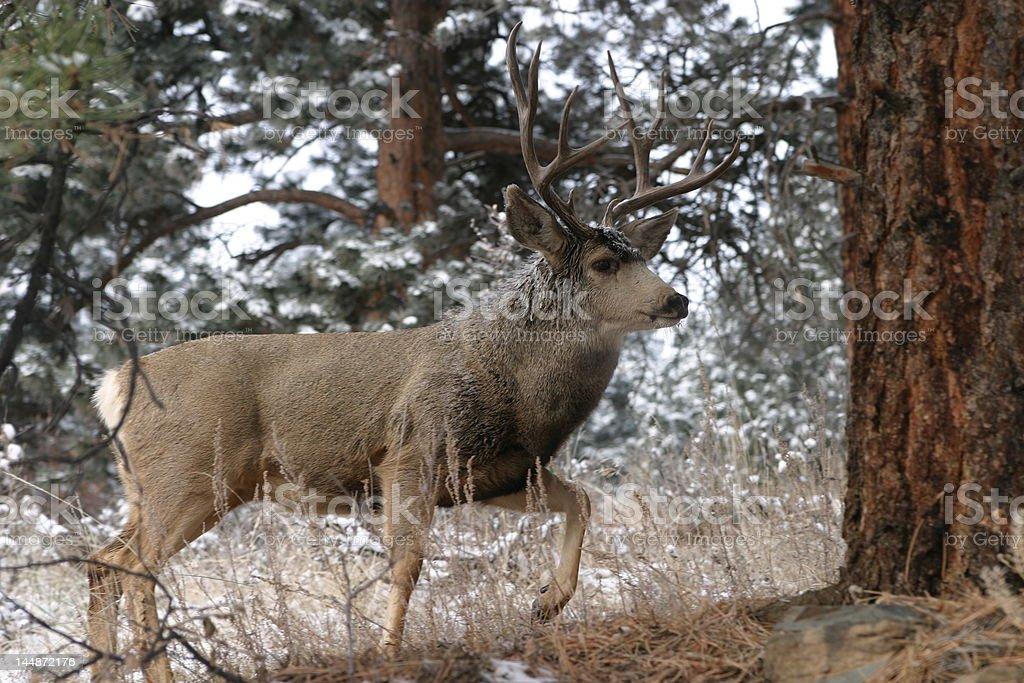 Colorado Buck royalty-free stock photo