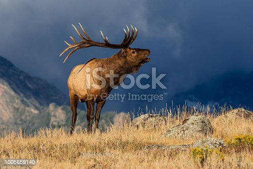 Colorado Bull Elk in Rut at Moraine Park in Rocky Mountain National Park in the area of Moraine Park.