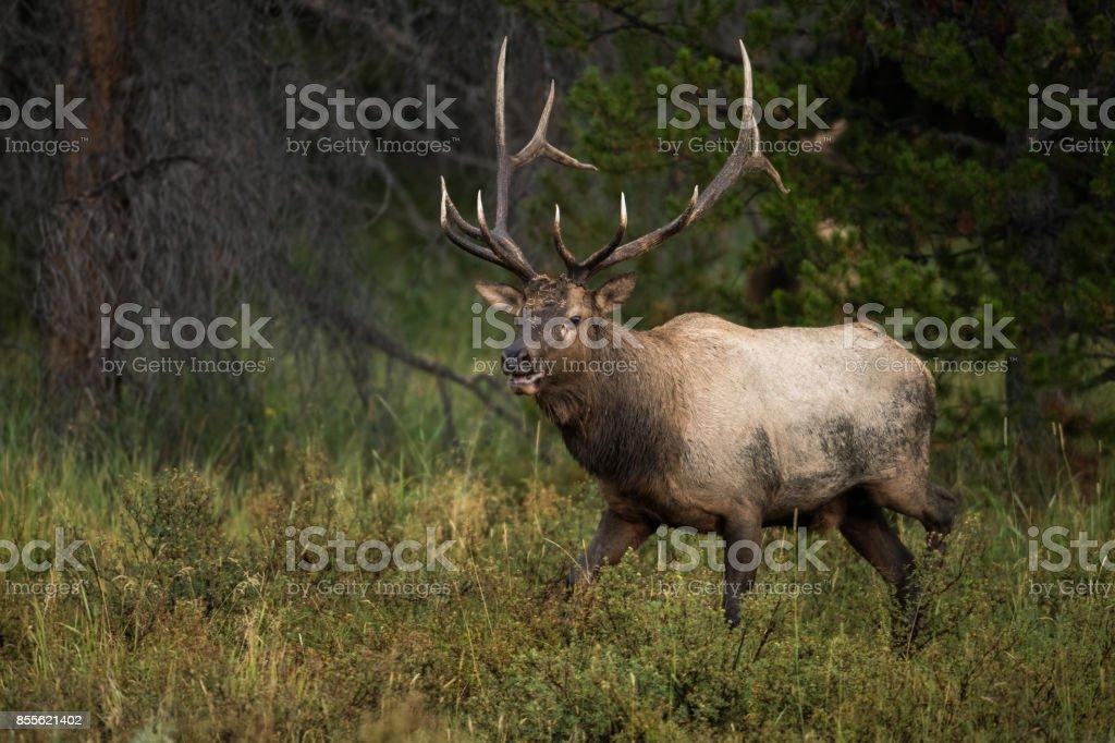 Colorado Bull Elk stock photo