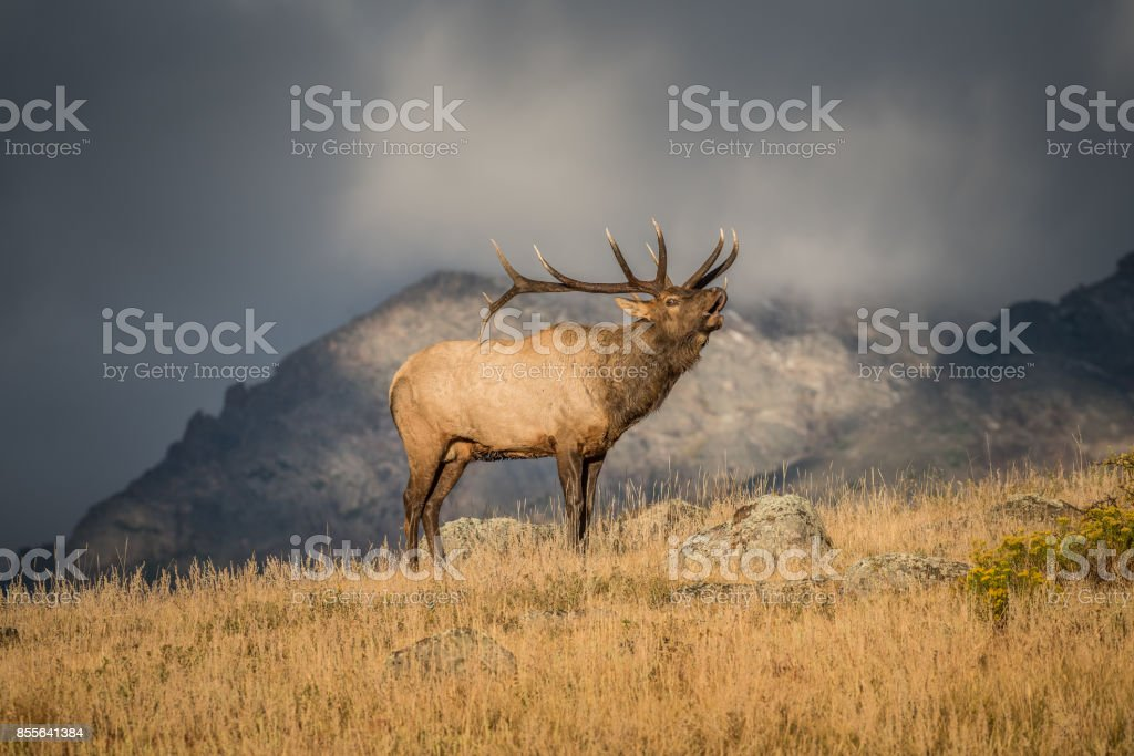 Colorado Bull Elk stock photo