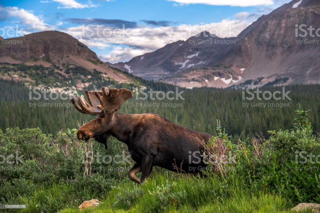 Colorado Bull Moose stock photo