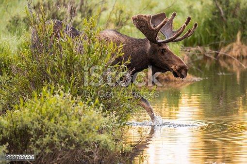 Colorado Bull Moose