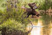 istock Colorado Bull Moose 1222782536