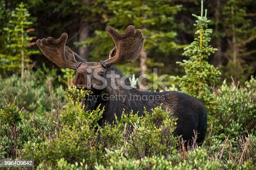 Colorado Bull Moose