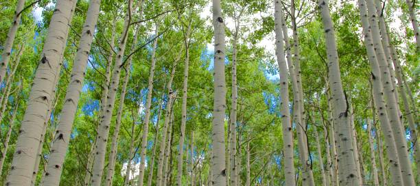 Colorado Cathedral Summer Aspen in Colorado steamboat springs stock pictures, royalty-free photos & images