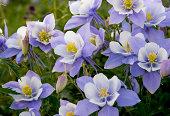 Colorado Columbine Wildflowers