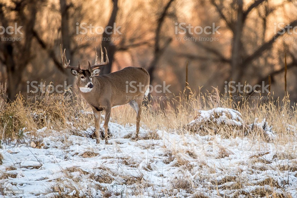 Colorado Deer stock photo