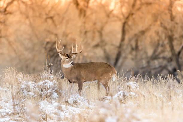 Cerf dans le Colorado - Photo
