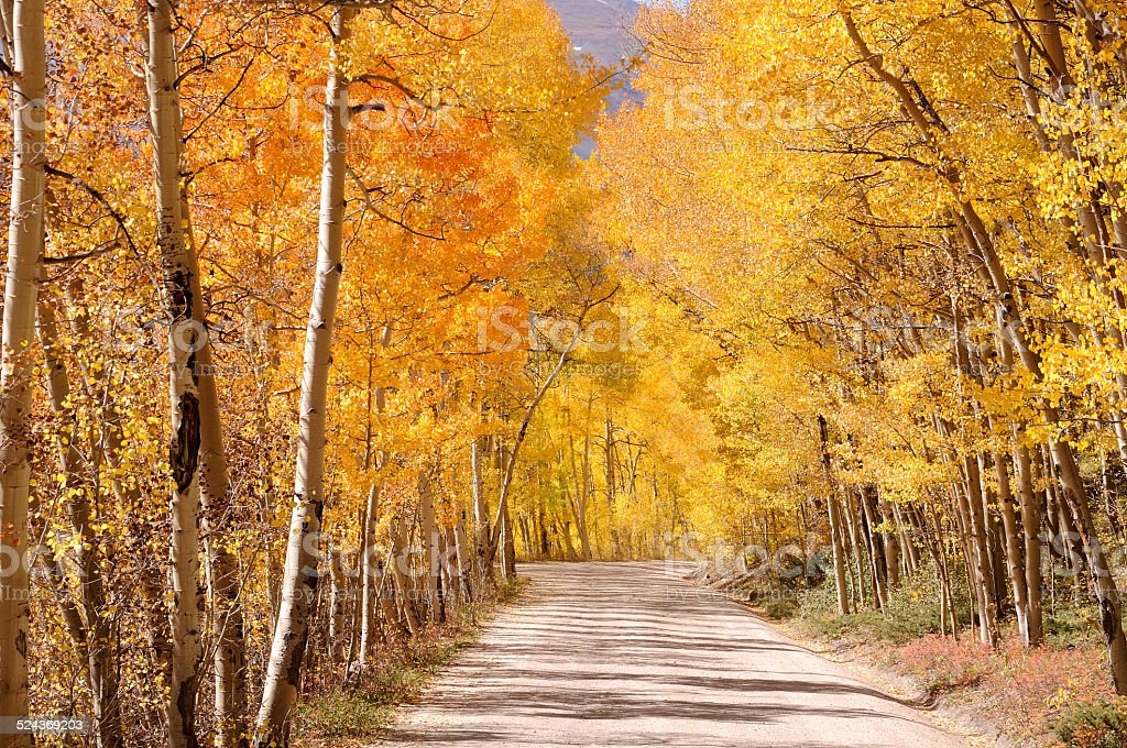 Colorado fall day under an aspen covered dirt road stock photo