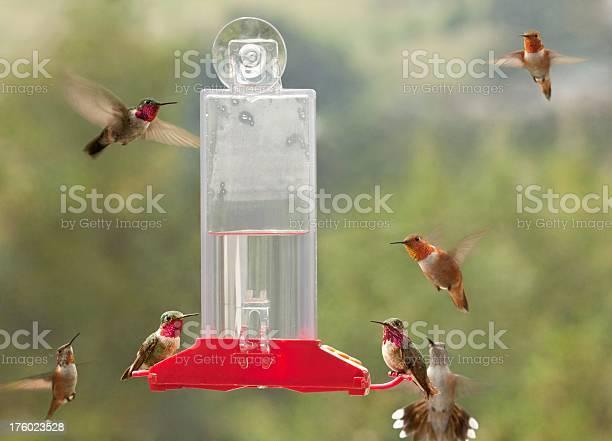 Photo of Colorado Hummingbirds