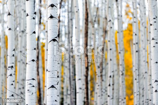 istock Colorado mountains foliage in autumn fall on Castle Creek scenic road with colorful yellow leaves on american aspen trees trunks forest in foreground 1190456627
