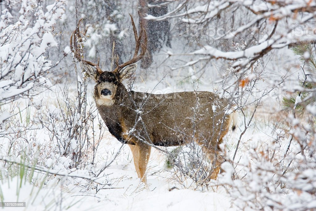 Colorado Mule Deer in the Winter Snow stock photo