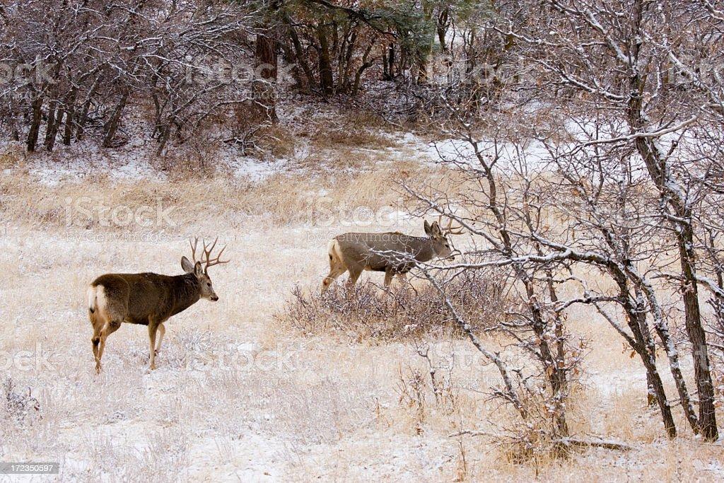 Colorado Mule Deer in the Wintertime Snow royalty-free stock photo