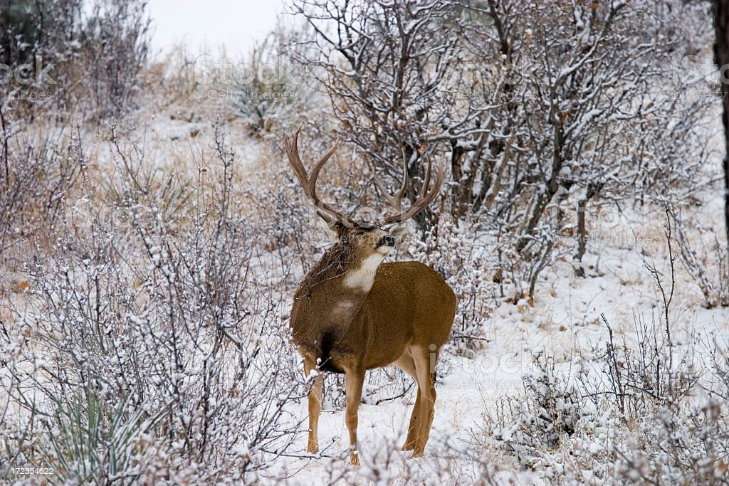 Colorado Mule Deer in the Wintertime Snow royalty-free stock photo