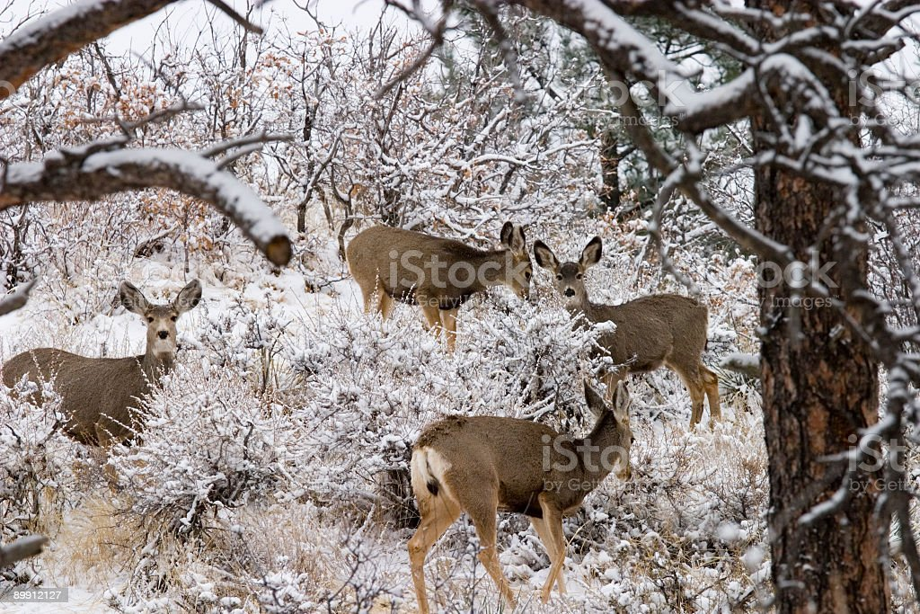 Colorado Maultierhirsch im Winter Snow Lizenzfreies stock-foto