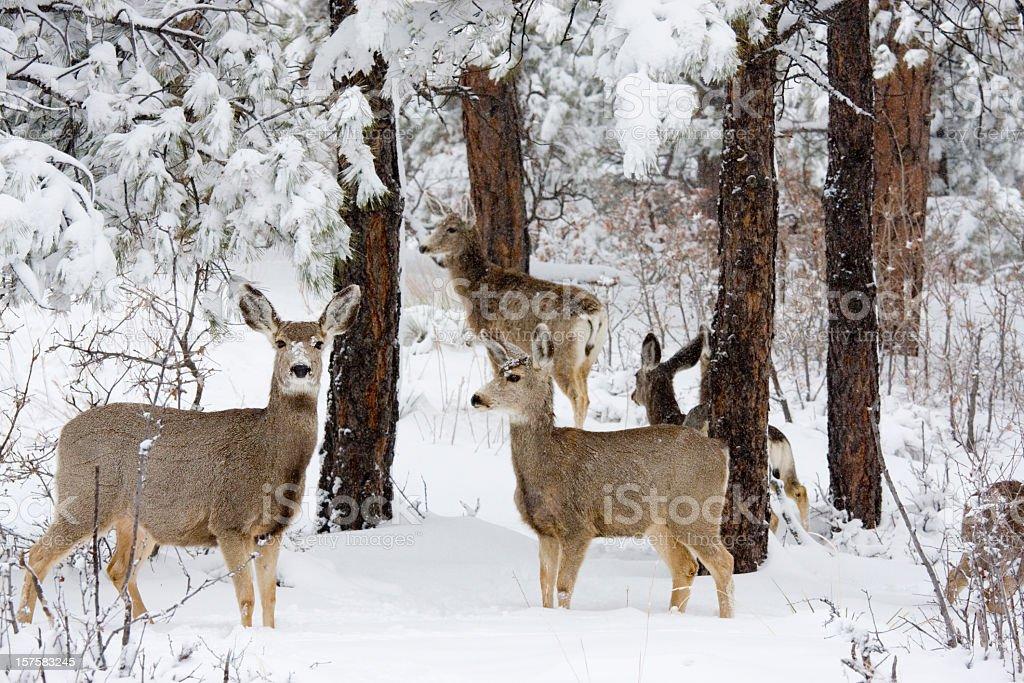 Colorado Mule Deer in Wintertime Snow stock photo