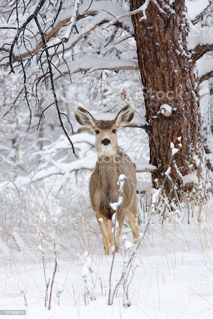 Colorado Mule Deer in Wintertime Snow royalty-free stock photo