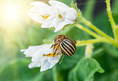 Colorado potato beetle eating potato flowers, Pests destroy a crop in the field. Parasites in wildlife and agriculture.