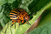 Colorado potato beetle eats potato leaves. Agricultural insects pests