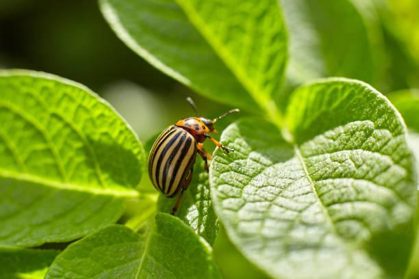 Colorado potato beetle on a green leaf of potatoes stock photo