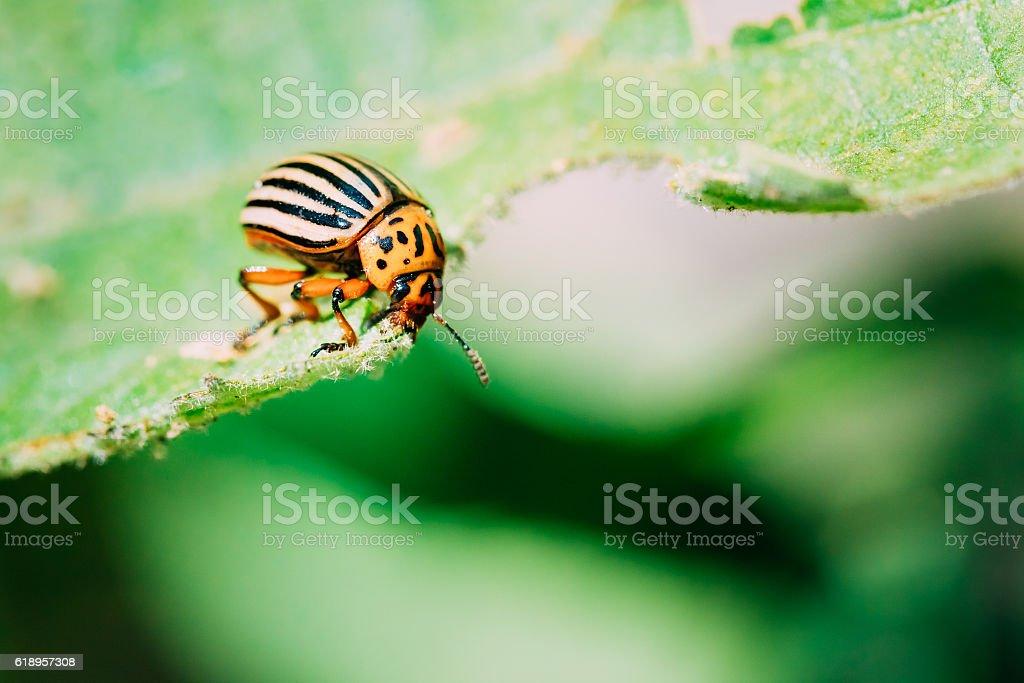 Colorado Potato Striped Beetle - Leptinotarsa Decemlineata - foto de acervo