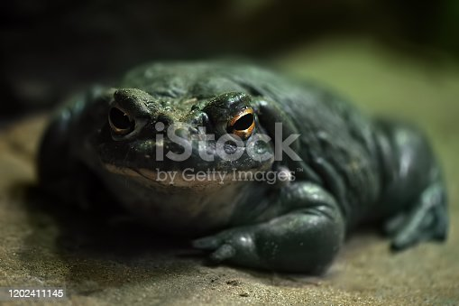 close-up of a colorado river toad (Incilius alvarius)