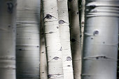 Colorado Rocky Mountain Aspen Trees Appear To Have Eyes