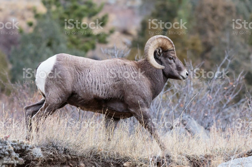 Colorado Rocky Mountain Bighorn Sheep Stock Photo & More Pictures of ...